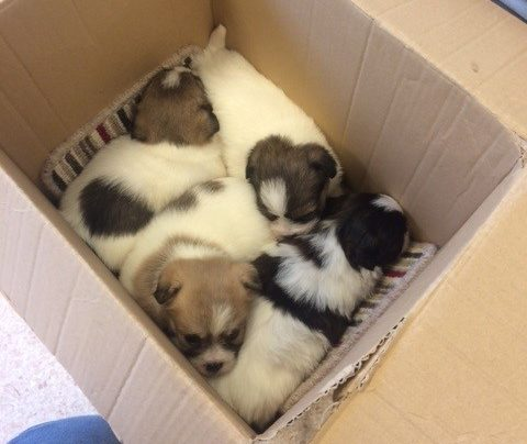 Four puppies find happy ending after being dumped in cardboard box