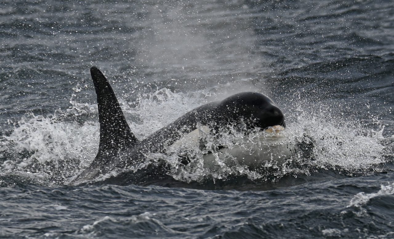 Orca Watch 2021: multiple orca sightings delight observers